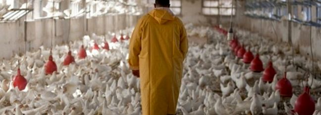 Chicken Farmers Suffer Losses Amid Surplus Production