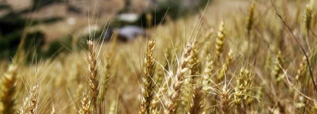 Gov't Buys 7% More Wheat From Local Farmers This Year