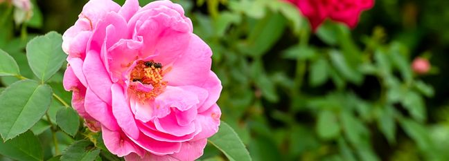 Iran Meets 70% of World Demand for Damask Rose