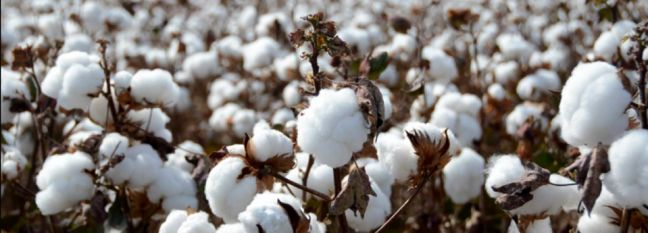 Cotton Production to Meet 50% of Domestic Demand