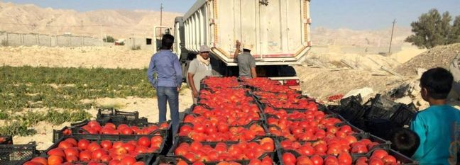 6.3m Tons of Tomatoes Produced Since March 20