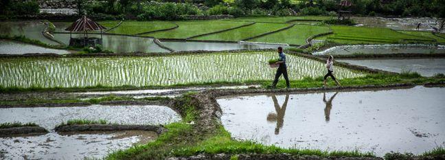 Iran Rice Production Hits 2.6m Tons