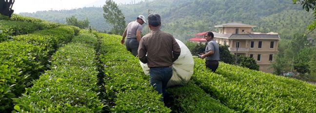 H1 Tea Production Exceeds 25K Tons