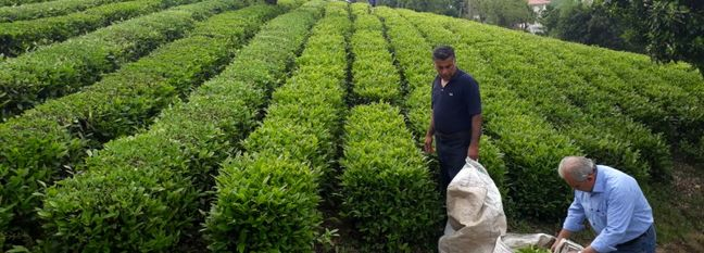 Tea Harvest Season Ends, Gov't Processed Output Rises 11%