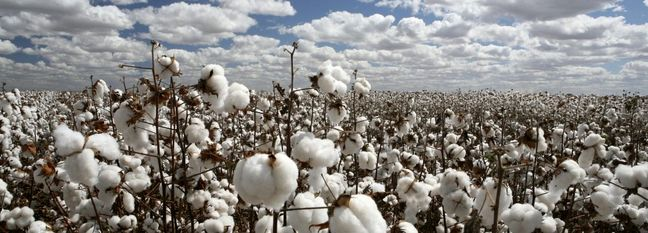 Iran Cotton Production Expected to Increase 10% This Year