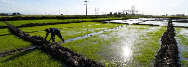 2.6m Tons of Rice Output Will Meet 85% of Demand